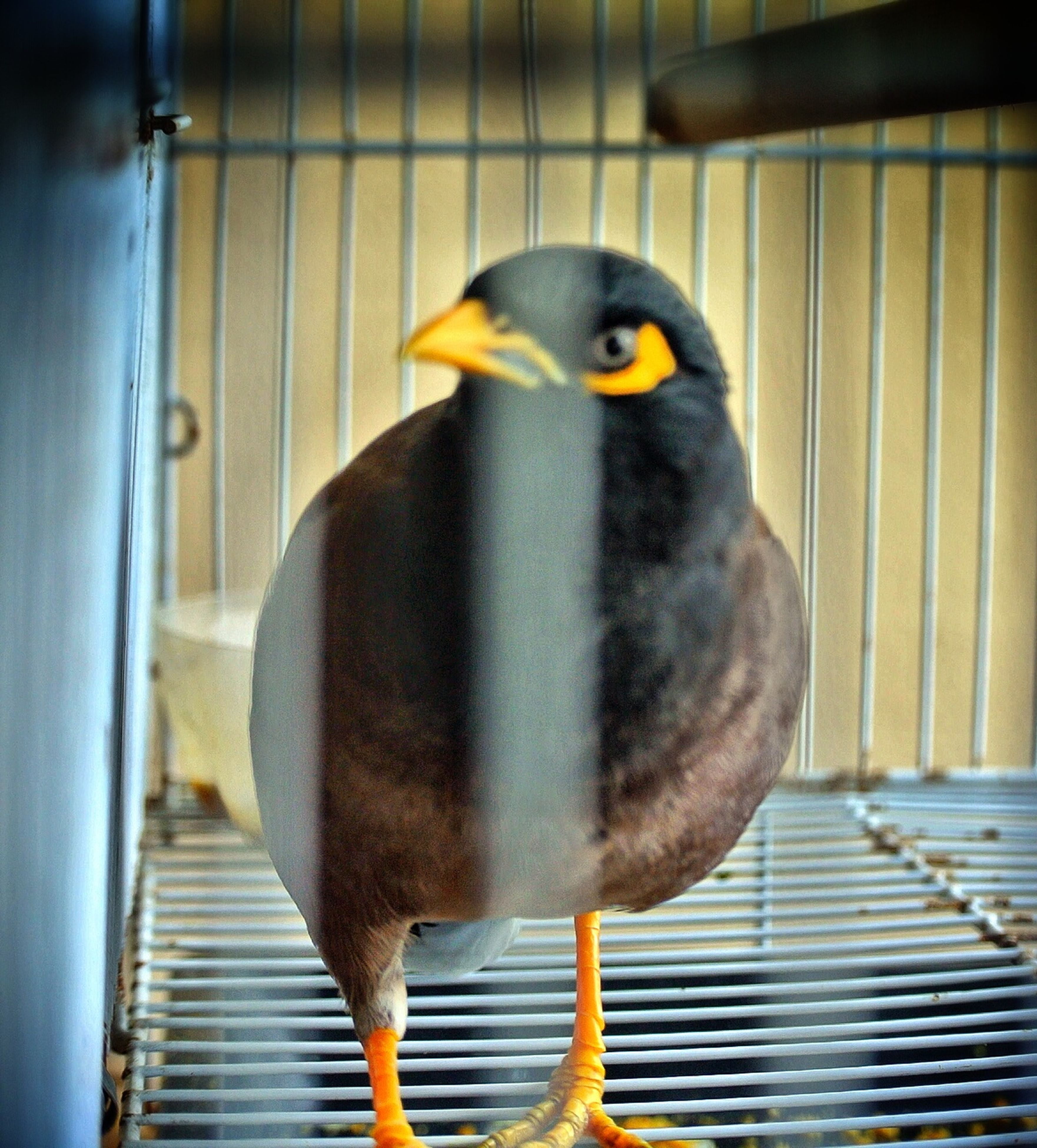 bird, animal themes, one animal, animals in the wild, beak, perching, wildlife, close-up, focus on foreground, parrot, cage, pigeon, bird of prey, birdcage, animals in captivity, front view, outdoors, zoology, nature, animal head