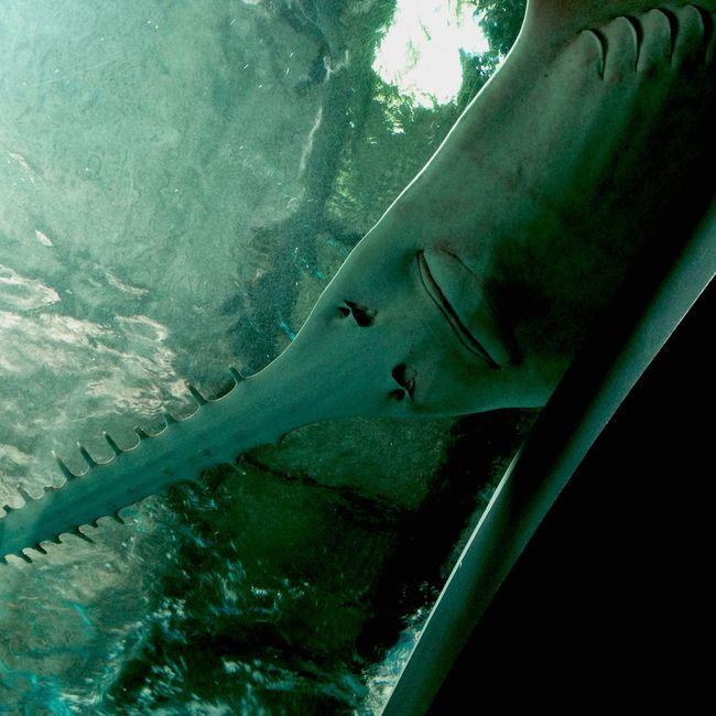 I got you... Hanging Out Aquarium Sawfish Scary Face
