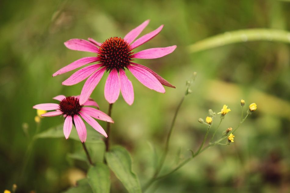 Flower Fragility Plant Nature Coneflower Eastern Purple Coneflower Flower Head Sonnenhut Echinacea Echinacea Purpurea Pollen Beauty In Nature Petal Freshness Close-up No People Outdoors Pink Color EyeEmNewHere