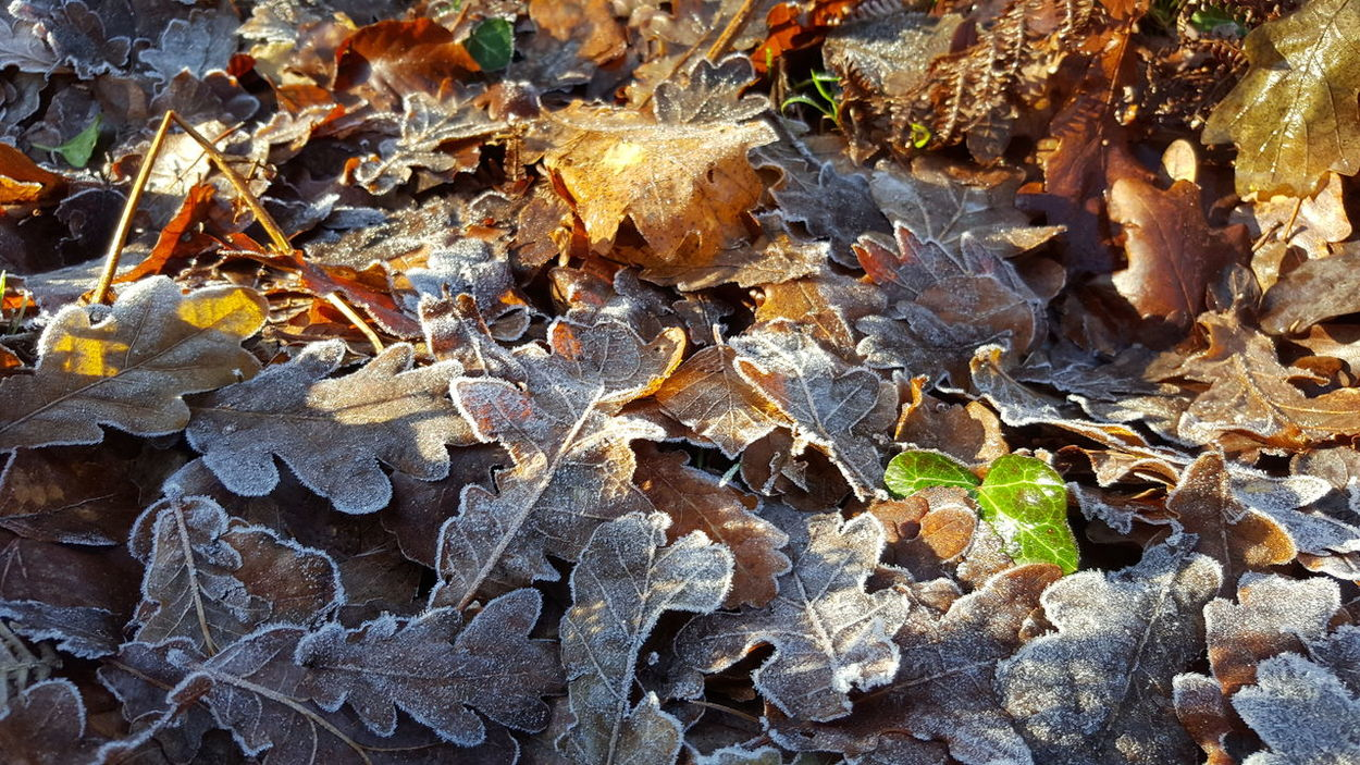 Nature Close-up Leaves_collection Leaves On The Ground Frosty Frosty Day Oak Leaves Autumn Leaves Autumn