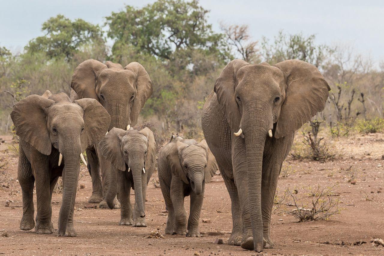 Beautiful stock photos of elefant,  African Elephant,  Animal Body Part,  Animal Family,  Animal Themes
