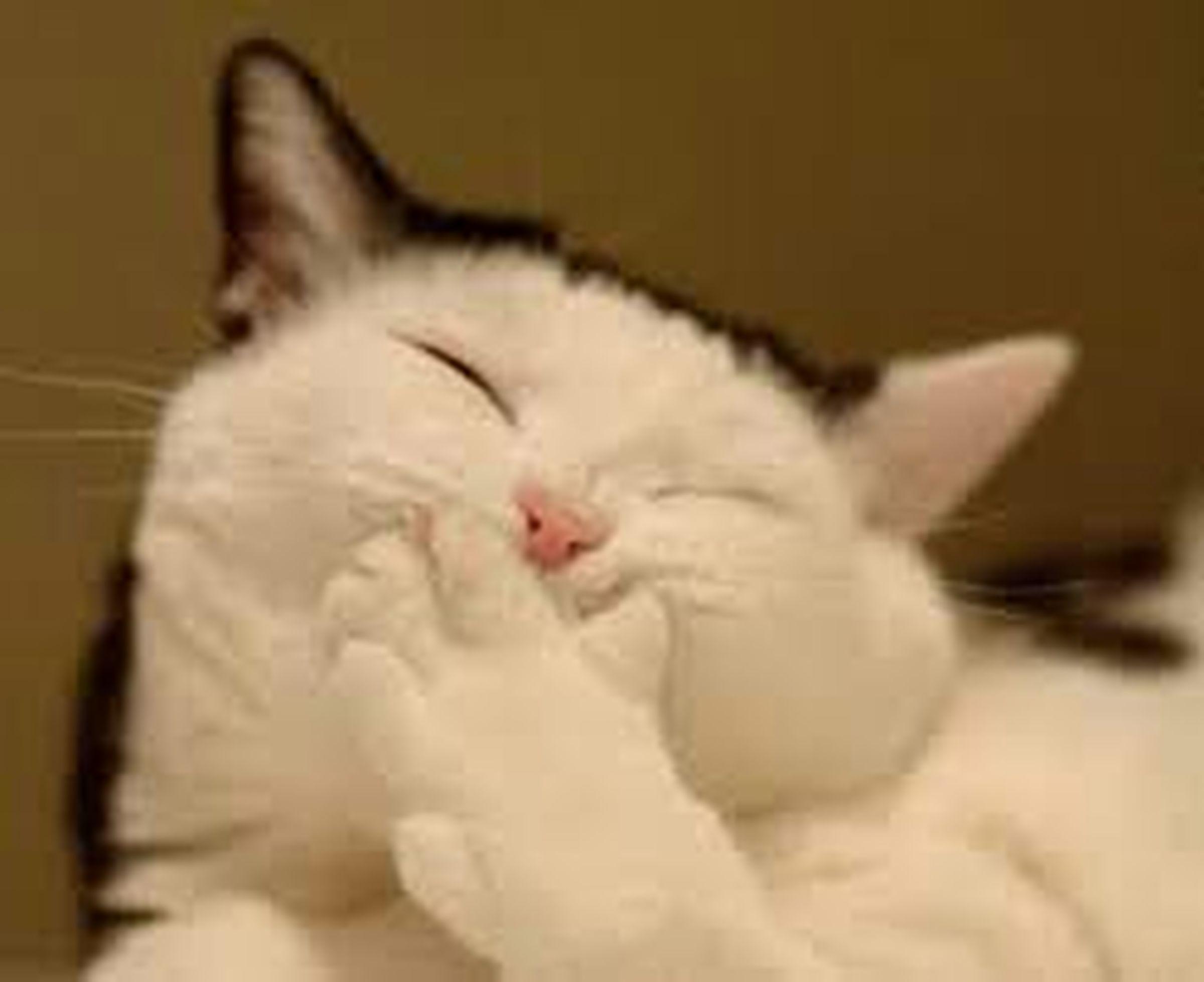 Domestic Cat Feline Close-up My Beautiful Cat🐈