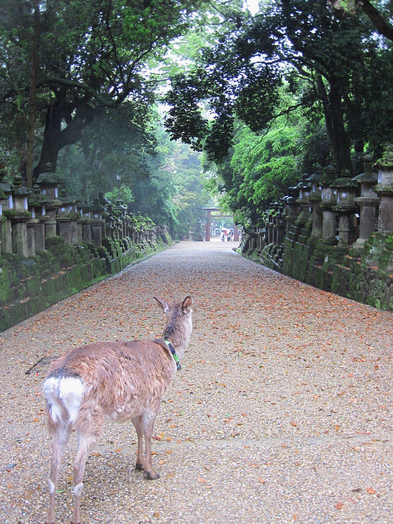 Deer view Deer Animal Themes Deers Deersighting Nature Walking Walking Path The Way Forward Gravel Road Gravel Path Gravel Nara Nara,Japan Nara Nara Park Shrine Holy Place