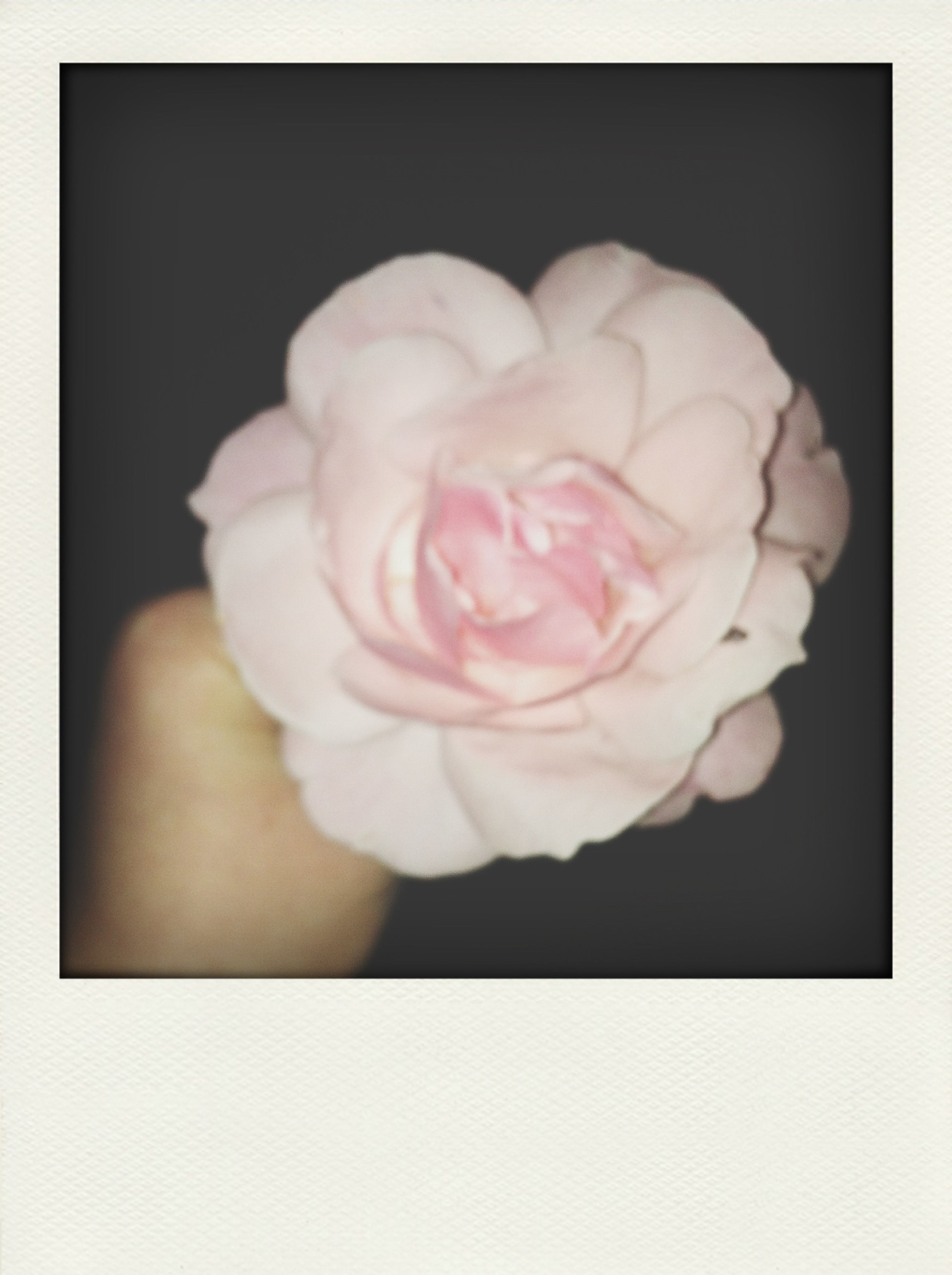 flower, petal, flower head, transfer print, fragility, freshness, rose - flower, close-up, beauty in nature, auto post production filter, single flower, studio shot, rose, indoors, nature, growth, pink color, blooming, blossom, no people