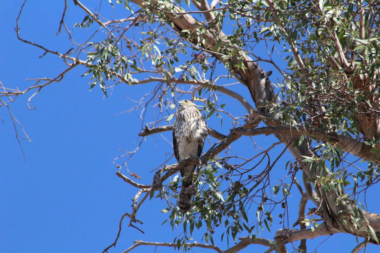 Low Angle View Of Cooper Hawk Perching On Tree Against Clear Blue Sky
