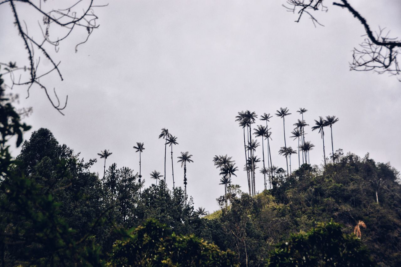 Wax Palm Trees at Valle del Cocora in Colombia. Tree Sky Nature Growth Low Angle View Outdoors No People Tranquil Scene Tranquility Plant Beauty In Nature Scenics Palm Tree Forest Jungle Wildlife & Nature Valle Del Cocora Colombia Ceroxylon Natural Reserve National Park Valley