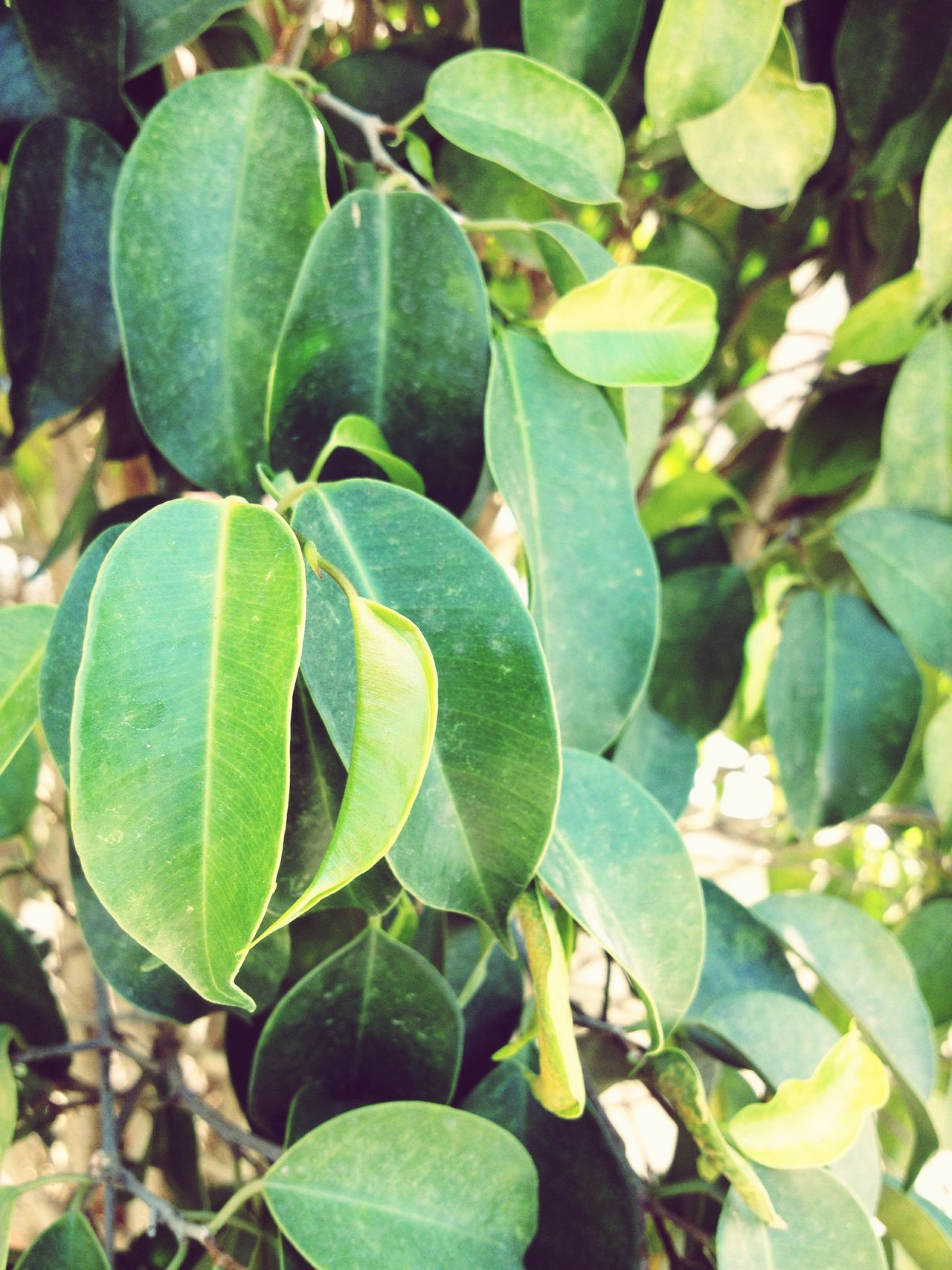 Anything can be as simple as leaves, the question is do you want it to be? Growth Leaf Freshness Focus On Foreground Nature Green Color Tree Growing Food And Drink No People Outdoors Day Close-up Fruit Food Beauty In Nature Unripe Olive Tree Orange Tree EyeEmNewHere