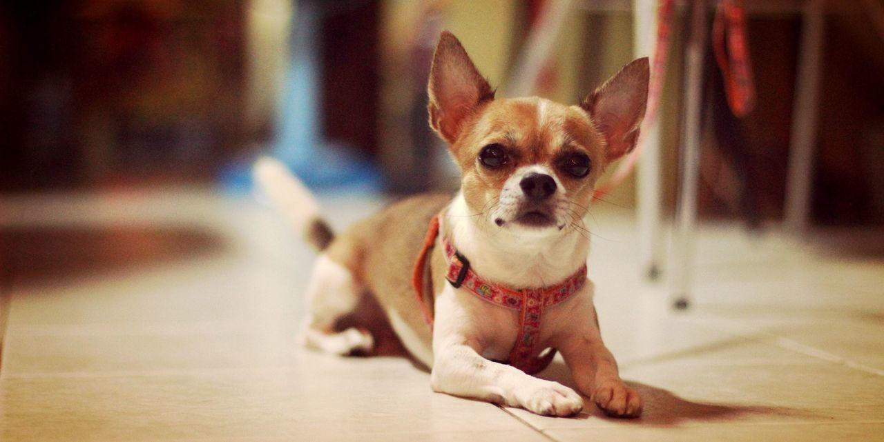 Beautiful stock photos of chihuahua, Animal Ear, Animal Eye, Animal Themes, Chihuahua - Dog