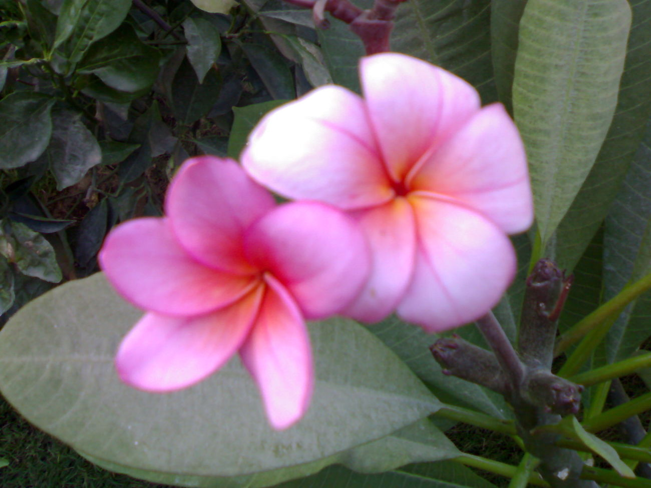 Beauty In Nature Blooming Close-up Day Flower Flower Head Fragility Freshness Growth Jasmine Flower Leaf Lovly Smile Nature No People Outdoors Periwinkle Petal Pink Plant
