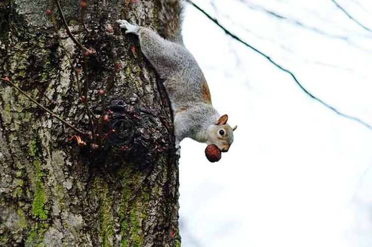 I will always save my nut!!! Squirrel Animals Lovely Nuts London Parks Love Squirels Passion Likeforlike Followme Love Squirrels Mimimi Beautiful Day FUNNY ANIMALS