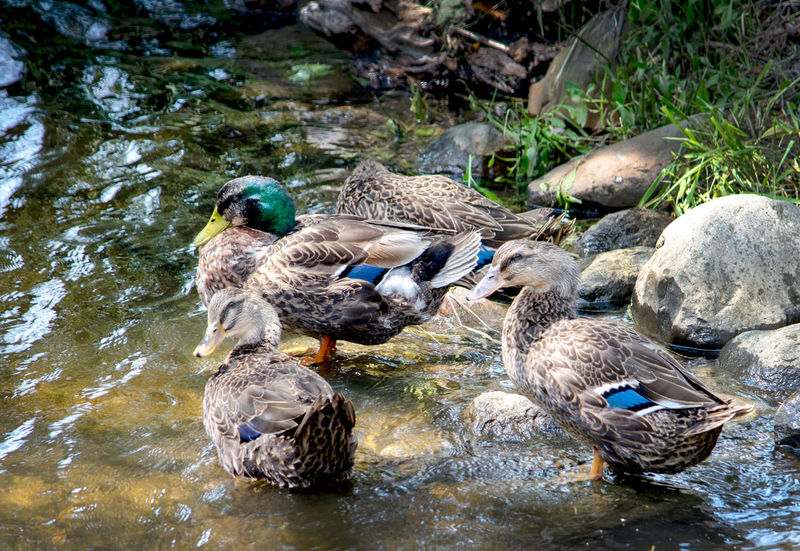 group of wild ducks blend into the rocks and street where they happily splash Feathers Animal Camouflage Group Of Animals Wildlife & Nature Animals In The Wild Animal Themes Bird Water Animal Wildlife Duck Mallard Duck Nature Lake Outdoors Day Swimming
