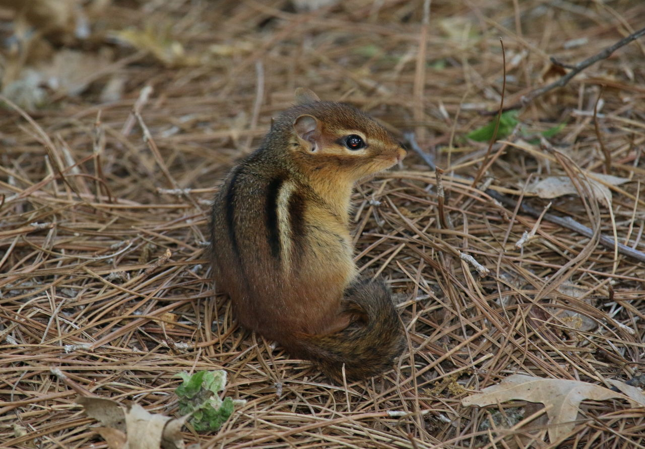 Who's there?😊 Chipmunk Chipmunk Close-up Chipmunkface One Animal Wildlife Nature Animal Themes Animals In The Wild Zoology No People in USA