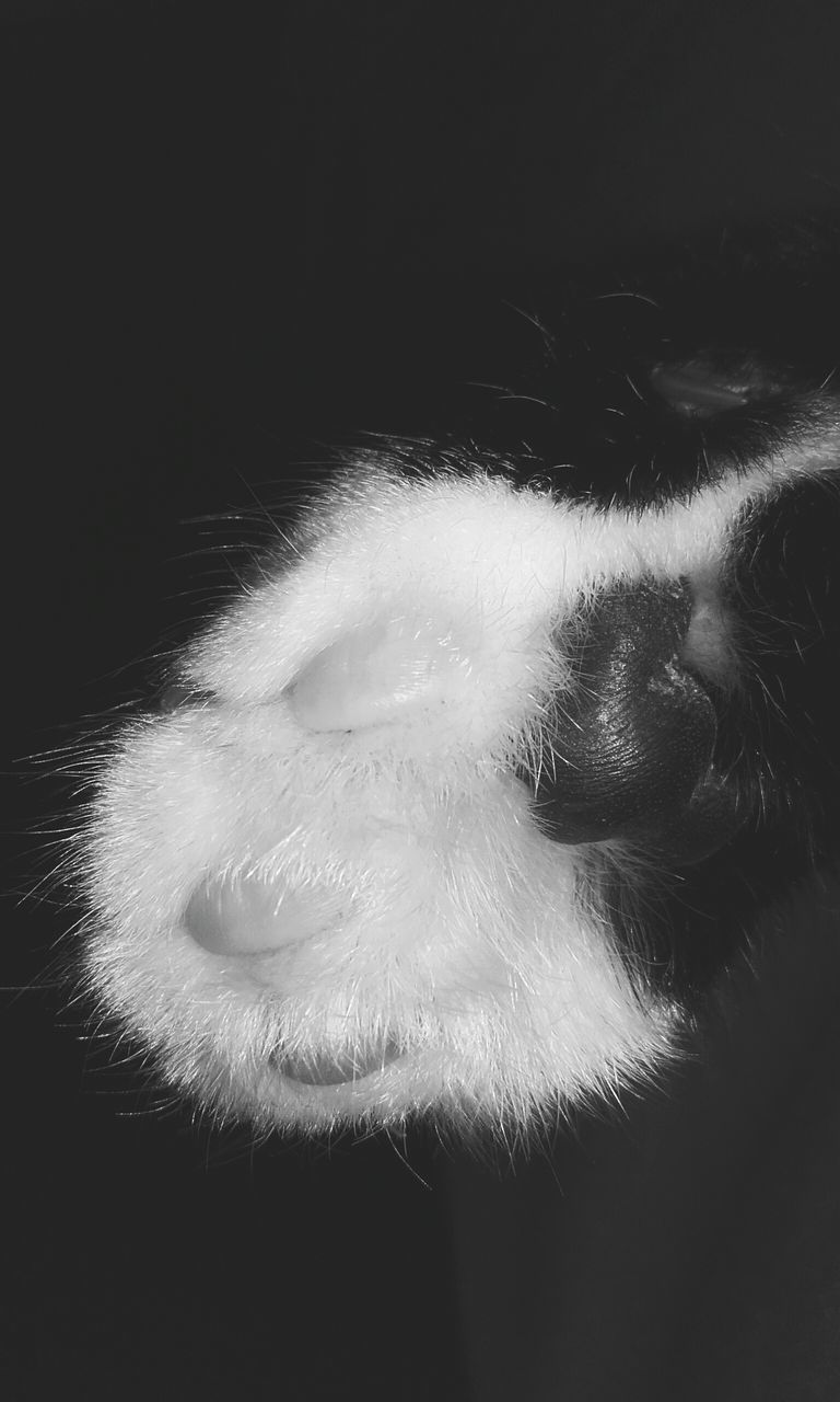 one animal, domestic animals, mammal, pets, animal themes, close-up, no people, dog, indoors, studio shot, day