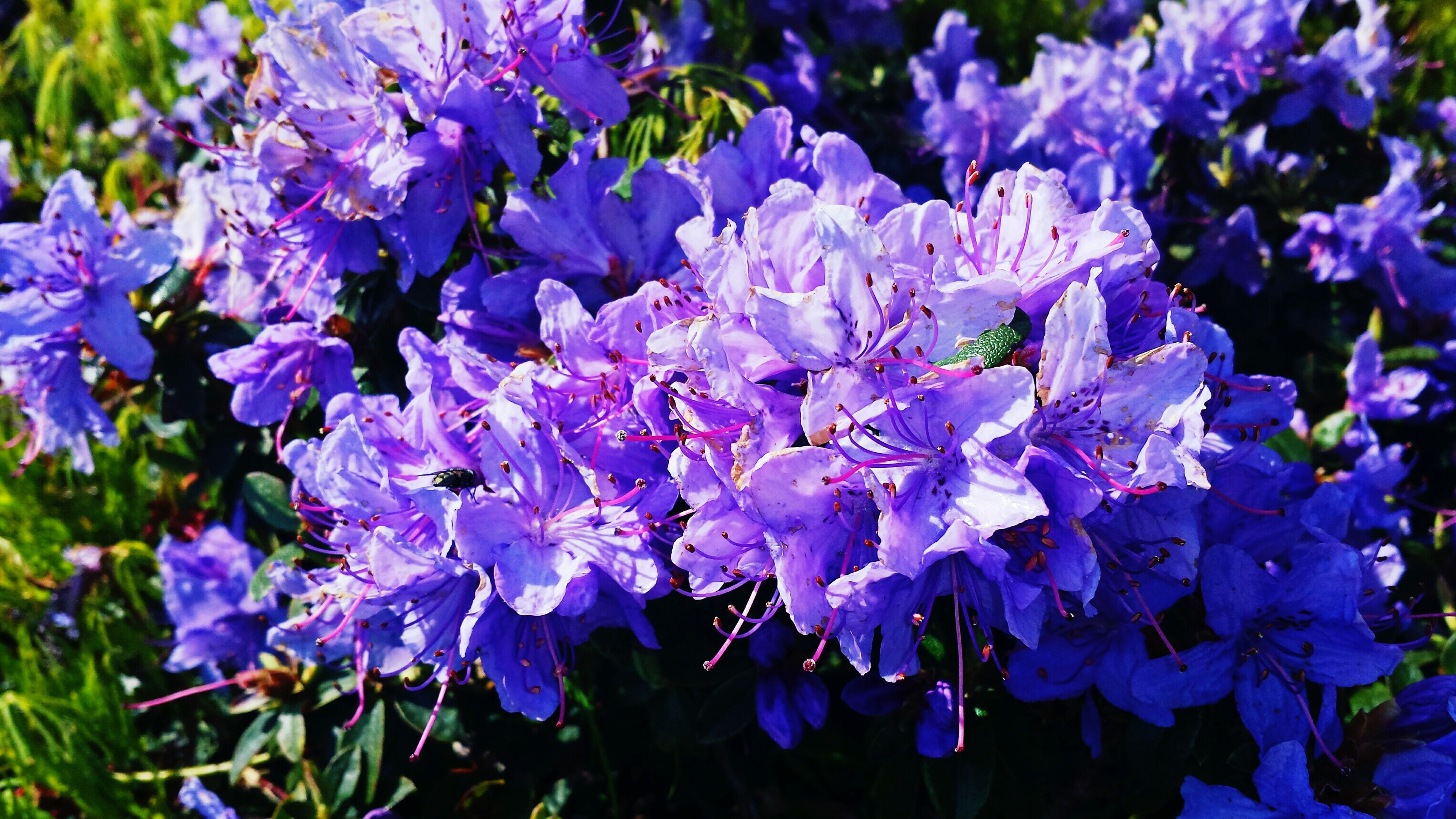 flower, purple, freshness, fragility, petal, growth, beauty in nature, flower head, plant, blooming, nature, close-up, in bloom, high angle view, park - man made space, hydrangea, focus on foreground, outdoors, no people, day