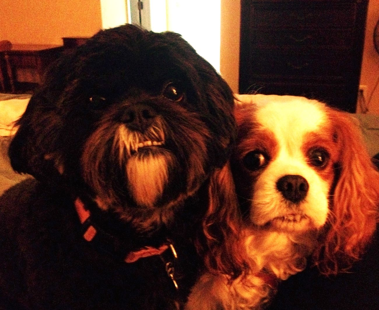 My two dogs + 1 ham & cheese sandwich...so much of forlorn puppy-eyes yearning, Sarah McClachlin could be singing in the background. Dogs Cavachon Cavalier King Charles Spaniel A Dogs Life