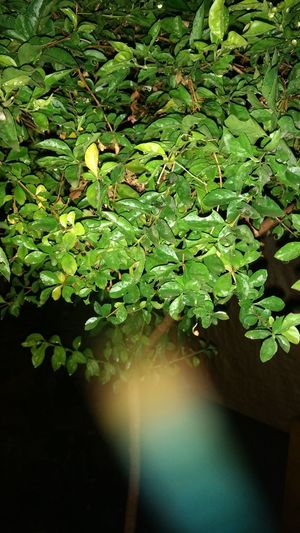 Nightphotography Flash Light Plants 🌱 Green Leaves☘️ Growth Outdoors Beauty In Nature No People Freshness Close-up