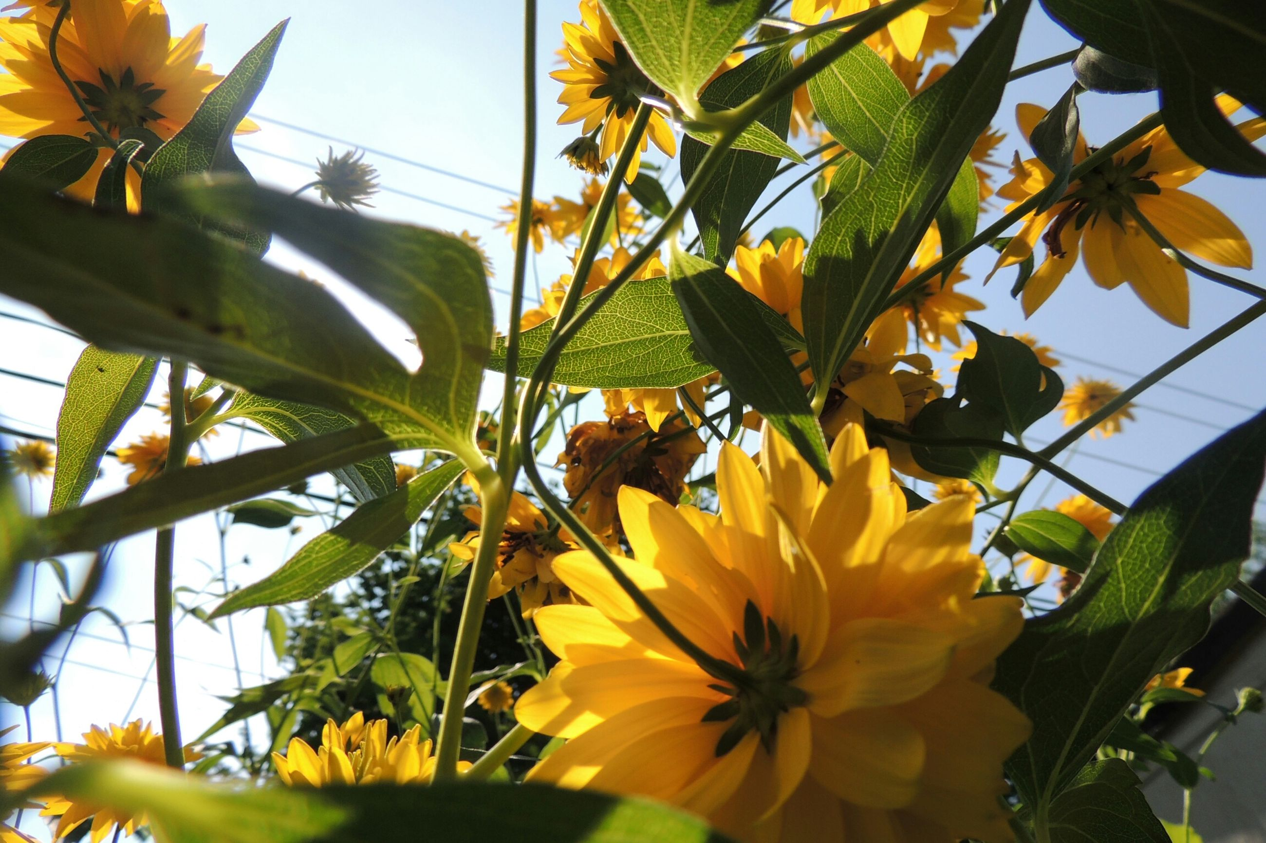 flower, freshness, yellow, growth, petal, fragility, leaf, flower head, sunflower, plant, beauty in nature, blooming, nature, low angle view, close-up, in bloom, pollen, green color, blossom, sunlight