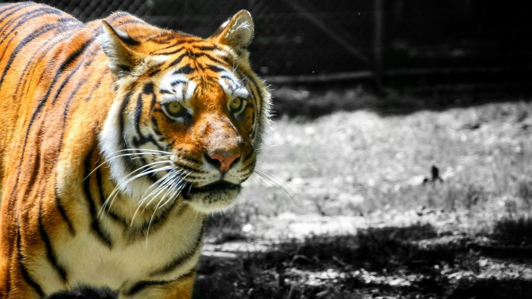 Scanaki Tiger Check This Out Enjoying The View Nature Is Beautiful Summer Memories 🌄 Sunny Sunday Close-up From My Point Of View Colors And Black And White Animals Tigre One Animal Animal Themes Mammal Animal Wildlife Nature Outdoors Focus On Foreground No People Day