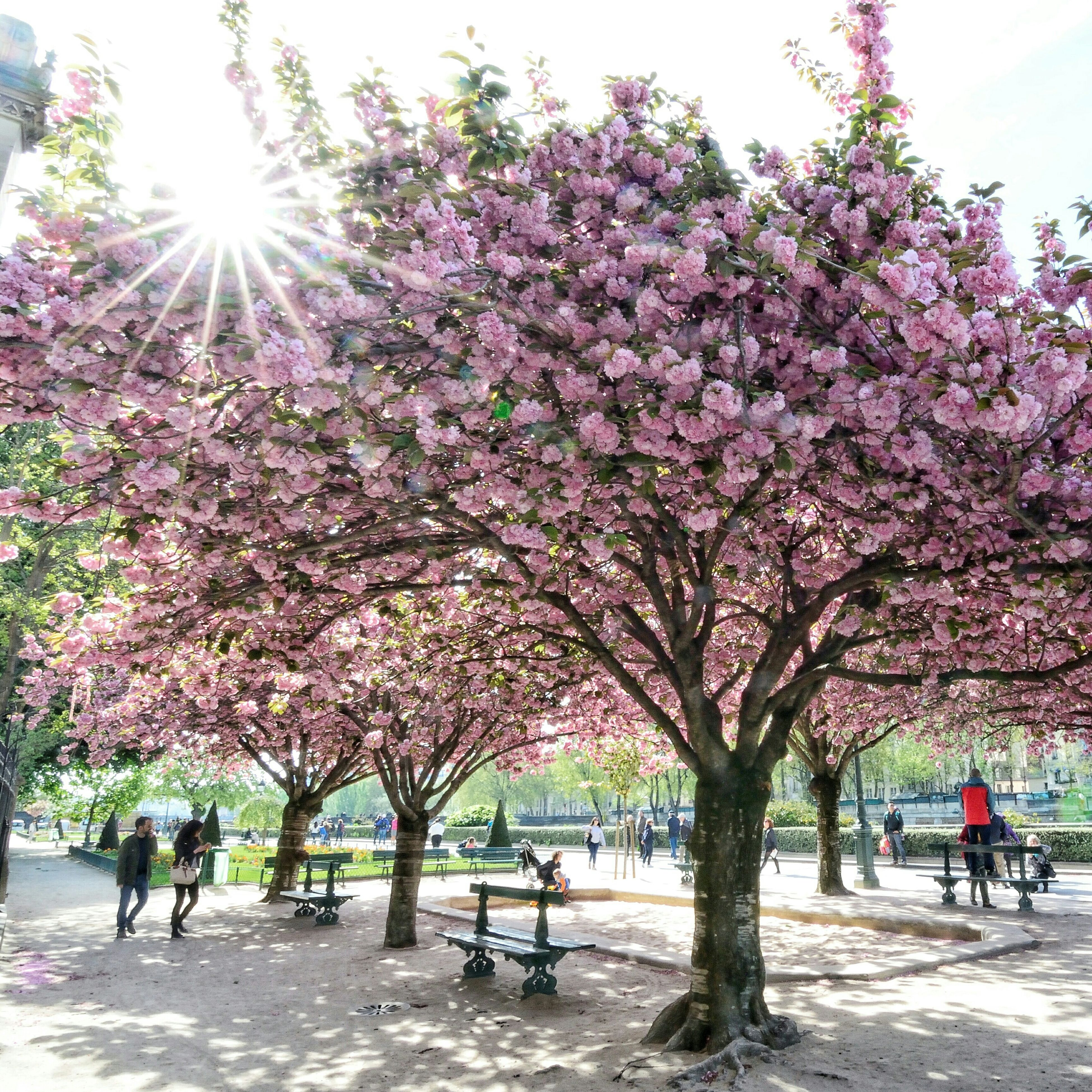 tree, large group of people, flower, person, lifestyles, mixed age range, men, cherry blossom, leisure activity, growth, sunlight, park - man made space, walking, branch, nature, cherry tree, beauty in nature, medium group of people, day