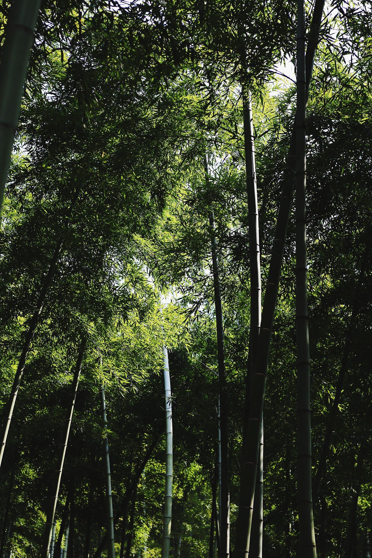 Bamboo Tree Nature Growth Green Color Low Angle View Tranquility Beauty In Nature No People Outdoors Day Scenics Tranquil Scene Forest Sky Bamboo Grove From My Point Of View EyeEmNewHere EyeEm Gallery Wildlife & Nature Spring Springtime Beauty In Nature Peace Peace And Quiet