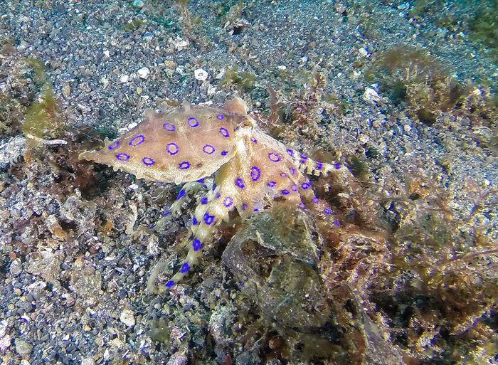Blue Ringed Octopus Nature Scuba Diving SCUBA INDONESIA Octopus Venomous Underwater