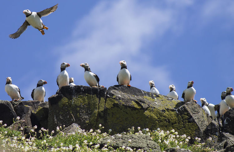 Puffin Animal Wildlife Animals In The Wild Beauty In Nature Bird Isle Of May Large Group Of Animals Nature No People Outdoors Puffins Sky Spread Wings
