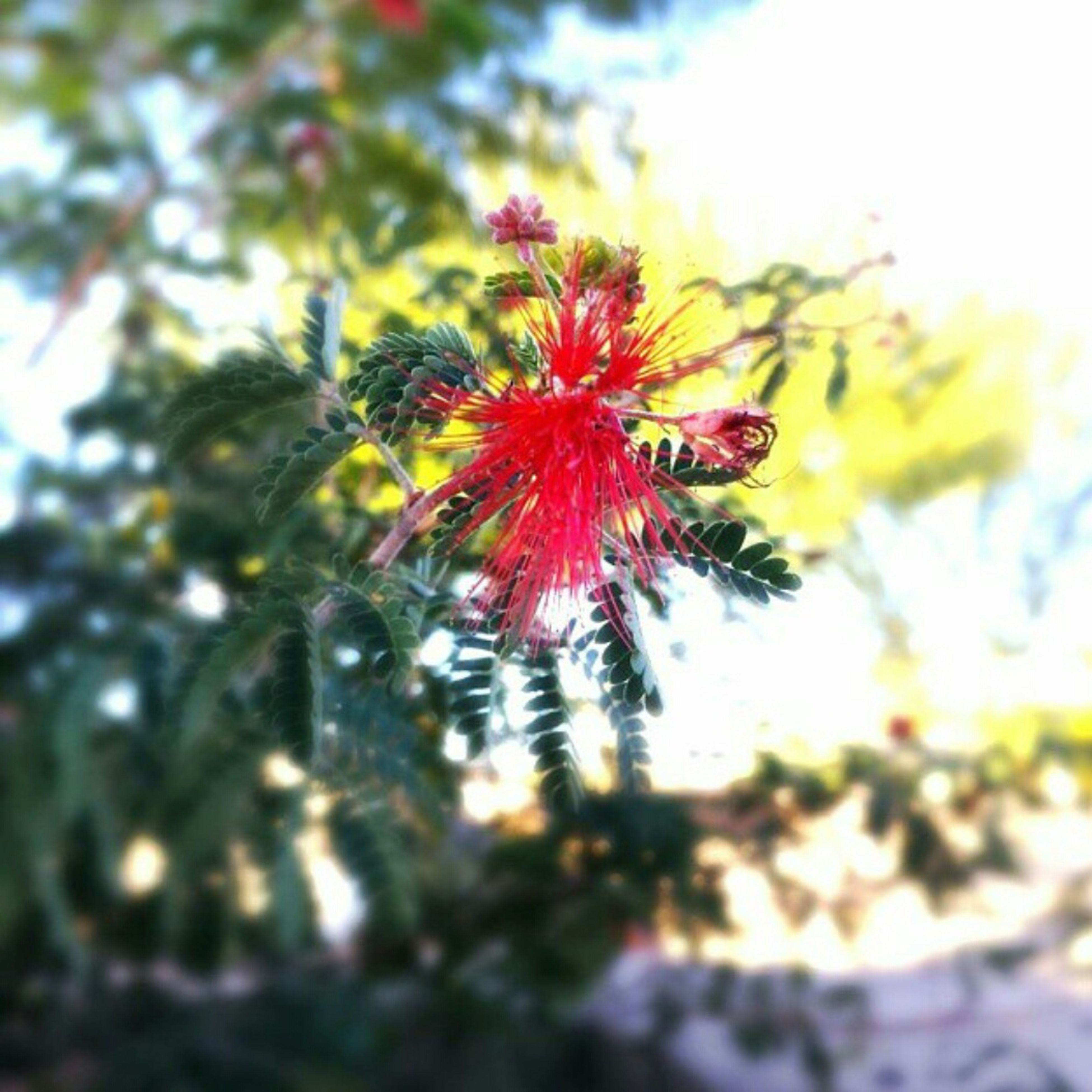 flower, growth, freshness, fragility, focus on foreground, beauty in nature, nature, close-up, petal, low angle view, plant, tree, flower head, selective focus, red, sky, blooming, day, sunlight, outdoors