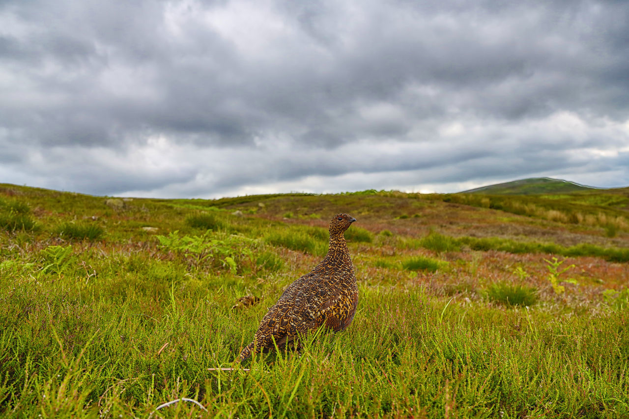 Red Grouse on a cloudy day - landscape with bird Lagopus Lagopus Scotica Animal Themes Beauty In Nature Cloud - Sky Landscape Nature Outdoors Red Grouse Sky Wide Angle View Wildlife