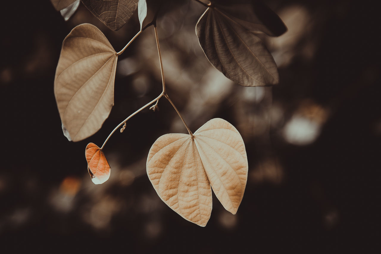 old leaves about to fall off Autumn Close-up Falling Leaves Focus On Foreground Leaf Lonely Nature No People Outdoors Senescence Vintage