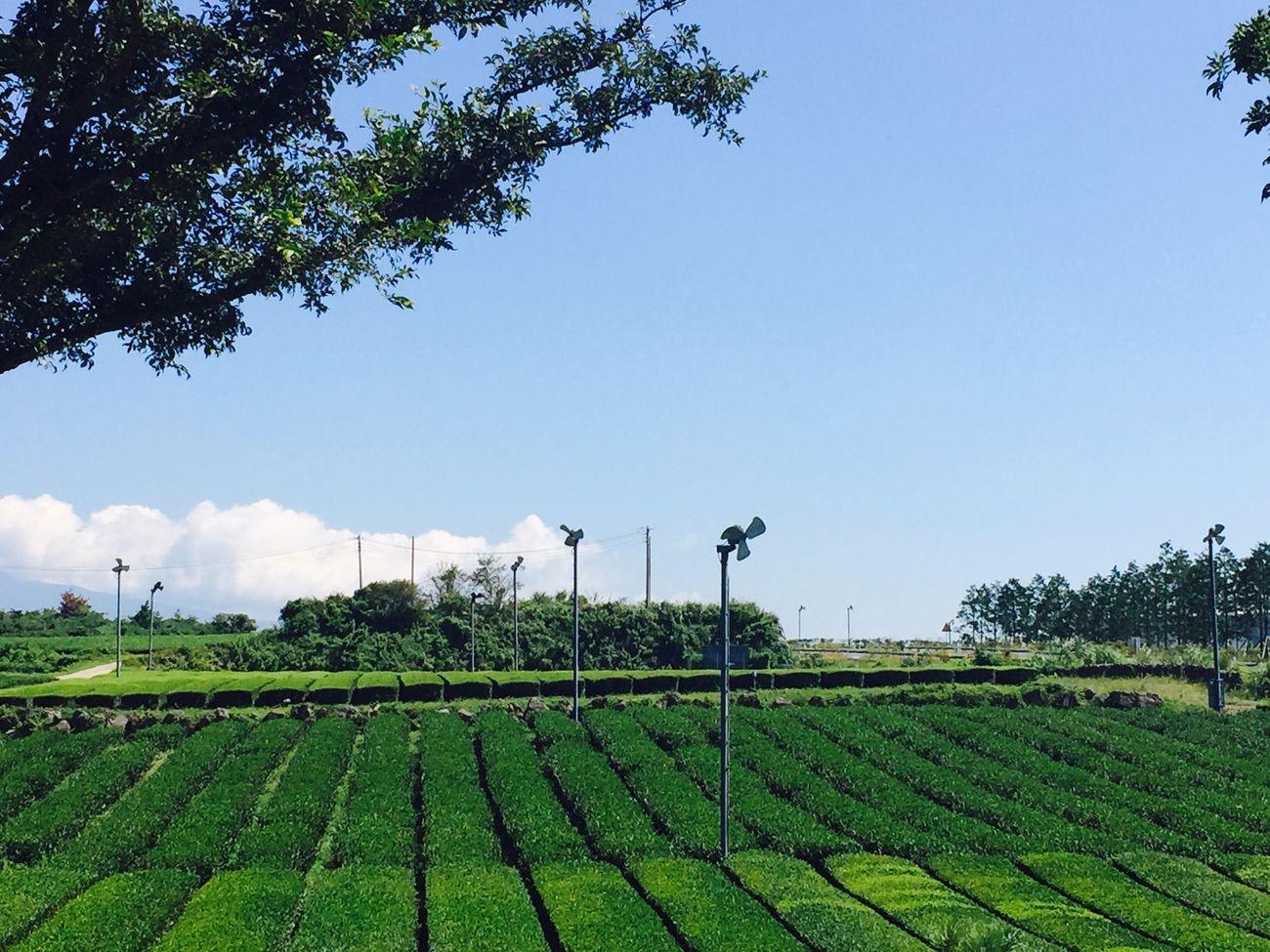Green tea!🍃❤️💘 Jeju JEJU ISLAND  Korea Green Tea Green Leaves Field Innisfree Osulloc Summer IPhoneography Iphone6plus