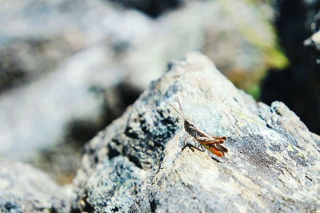 Cricket! on the rocks... Taking Photos Colour Of Life EyeEm Best Shots Summer Memories 🌄 Nature Photography Nature_collection Insects  Open Edit Fresh 3 Eye4photography  Macroclique Macro_collection