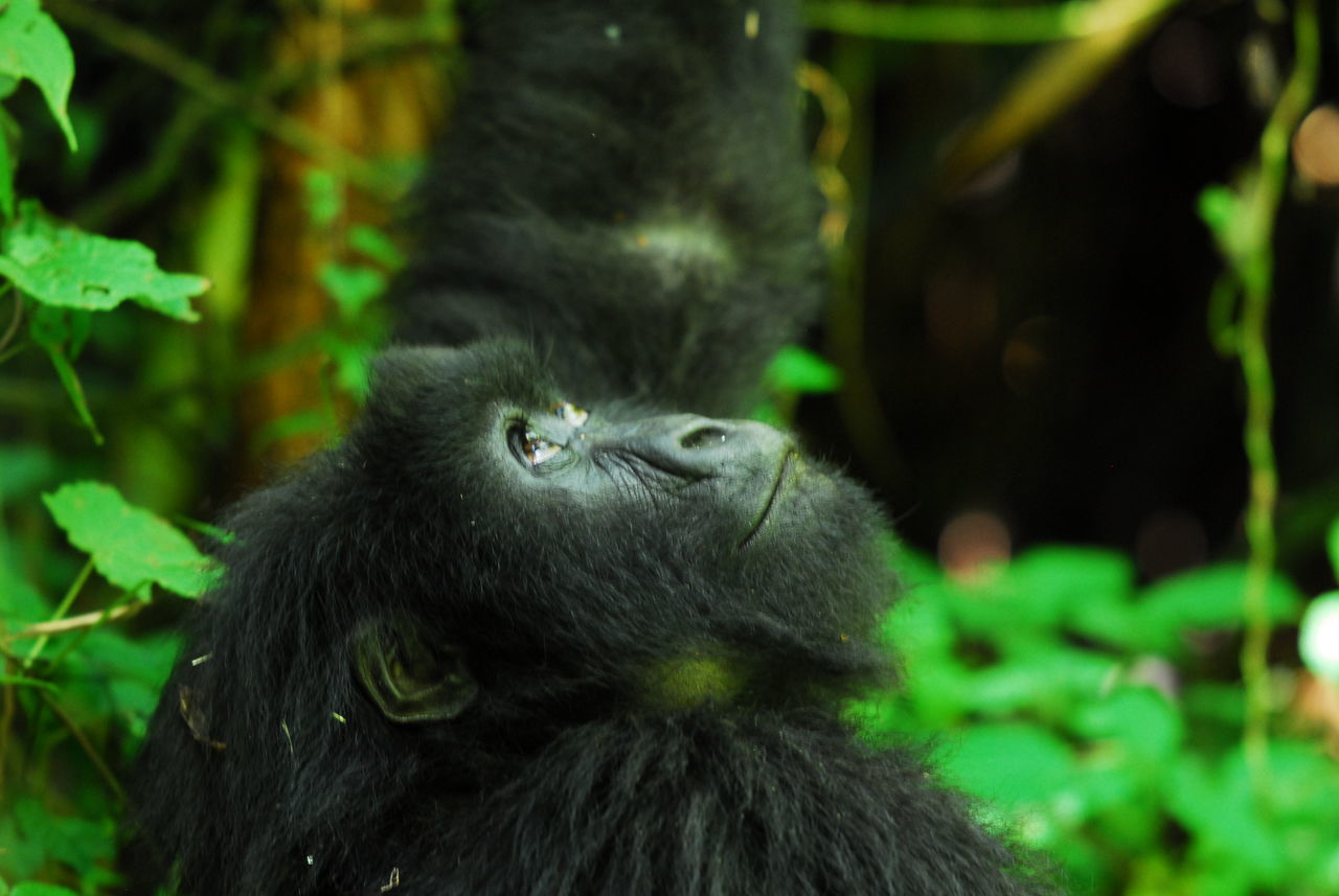 Parc National des Volcans, Rwanda Animal Hair Animal Head  Animal Themes Animals In The Wild Ape Close-up Focus On Foreground Gorilla Green Color Look Lookingup Mammal Mountain Gorilla No People One Animal Rwanda Volcano Wildlife Zoology