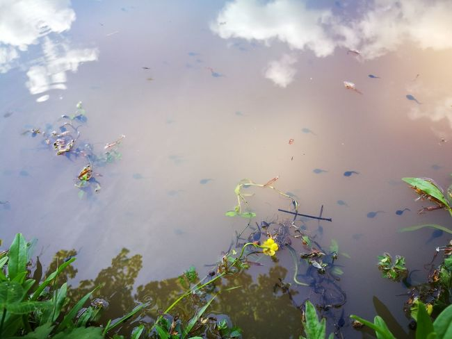 💚 Tadpoles Kaulquappen 💚 part 2/4 💚 Cloud - Sky Reflection Lake Smartphonephotography EyeEm Best Shots Eye4photography  No Edit/no Filter No Filter, No Edit, Just Photography The Great Outdoors - 2017 EyeEm Awards No People Nature Outdoors Animal Wildlife Beauty In Nature Good Evening Guten Morgen EyEmNewHere Animals In The Wild Day Water Large Group Of Animals Animal Themes