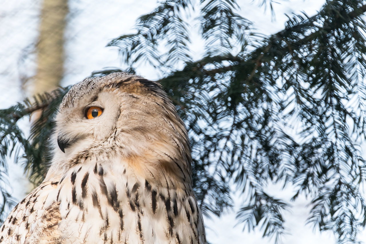 Animal Eye Animal Themes Animal Wildlife Animals In Captivity Bird Bird Of Prey Branch Close-up Copy Space Day Eagle Owl  Feather  Looking Away Low Angle View Nature No People One Animal Orange Color Outdoors Owl Perching Sky Tree Zoology