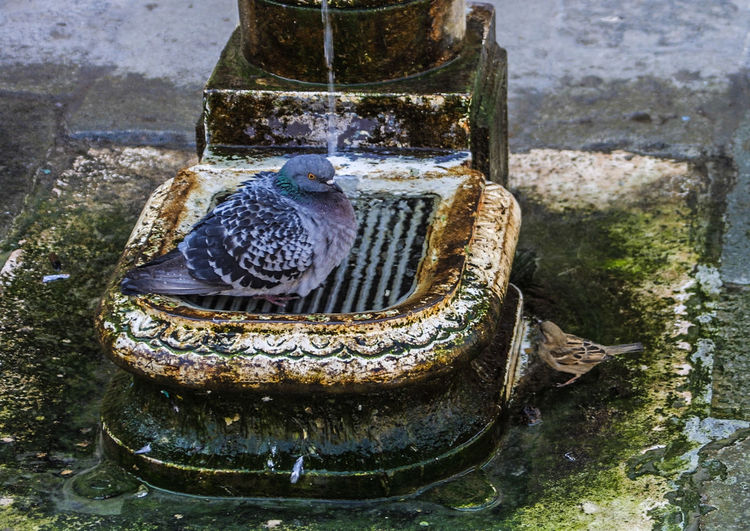 Venedig ohne Touristen, Venice withaout Tourists Brunnen, Taube, Spatz, Birds, Venedig, Ohne Touristen, Lagune, Frühling, Venice, WithoutTourists, Springtime, City, Sea, Water, Historical, Old Town Animal Themes Bird Close-up Day No People Outdoors Water EyeEmNewHere