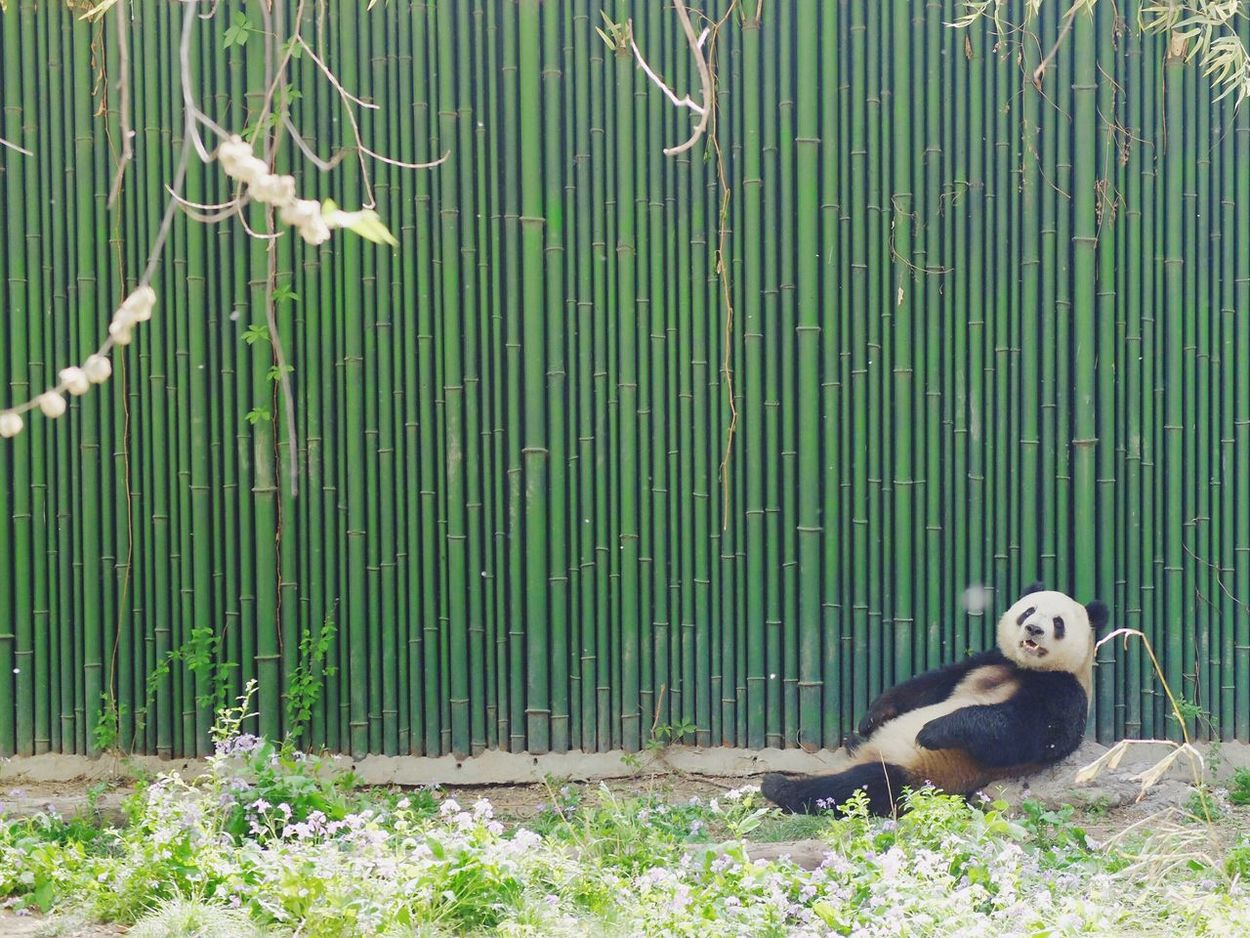 Panda - Animal EyeEm Diversity EyeEmNewHere Art Is Everywhere