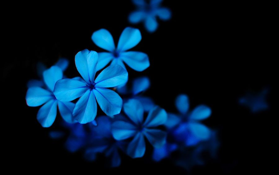 Flower Flower Close-up Flower Head Beauty In Nature Growth Blue Freshness Springtime Selective Focus Petal Nature Softness Blossom Plant Night Black Background Prime Lens Love Photography
