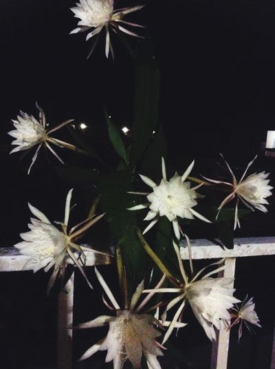 Dama de Noche fully bloom! EyemPuertoRico Color Portrait EyeEm Nature Lover Nature_collection Eyemphotography