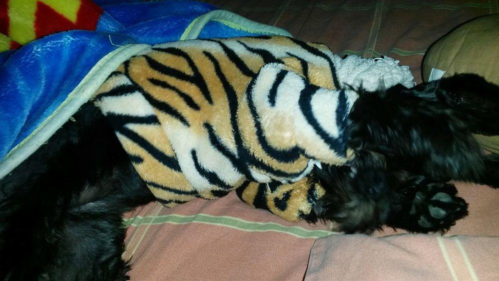 Dog Love Luna Mia Amorperruno Miniature Schnauzer Black Shesmine Myall  she's my all, the Best dog!! Luna mi amor te amo 😍😍