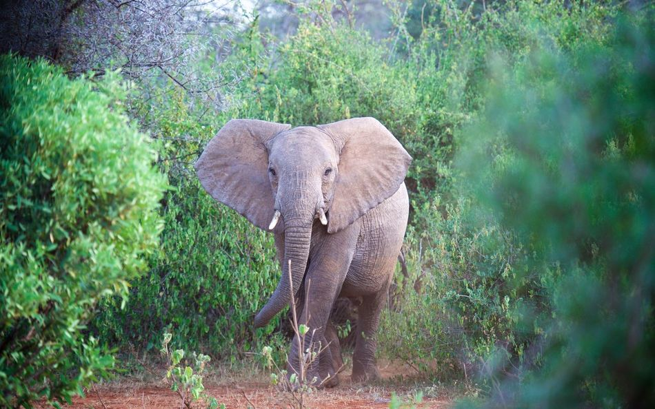 Young Elephant at dusk on the Kenyan savanna. Africa African Elephant Animal Trunk Animal Wildlife Animals In The Wild Curious Day Elephant Kenya Listening Mammal Nature No People One Animal Outdoors Safari Animals Tusk Watching Young Animal