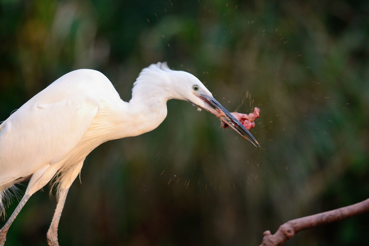 Beauty In Nature Bird Bird Eating Check This Out Close-up Day Eating Egret Eye4photography  EyeEm Best Shots EyeEm Gallery EyeEm Nature Lover Focus On Foreground Little Egret Motion Motion Blur Nature Nature Photography Nature_collection Naturelovers No People Outdoors Selective Focus Taking Photos Wildlife