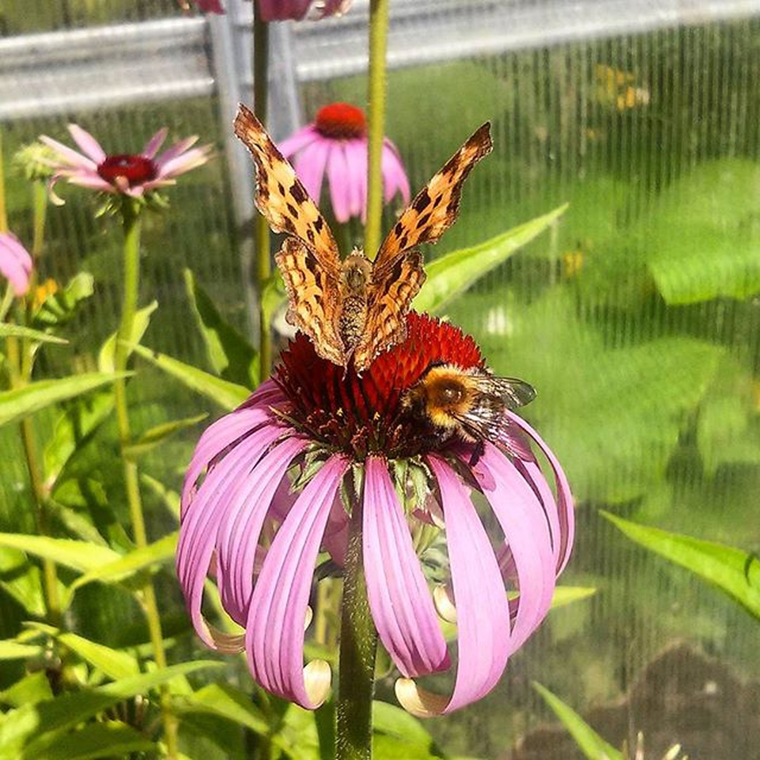 flower, insect, one animal, animal themes, petal, animals in the wild, freshness, fragility, wildlife, flower head, pink color, pollination, beauty in nature, close-up, focus on foreground, growth, nature, plant, blooming, butterfly - insect