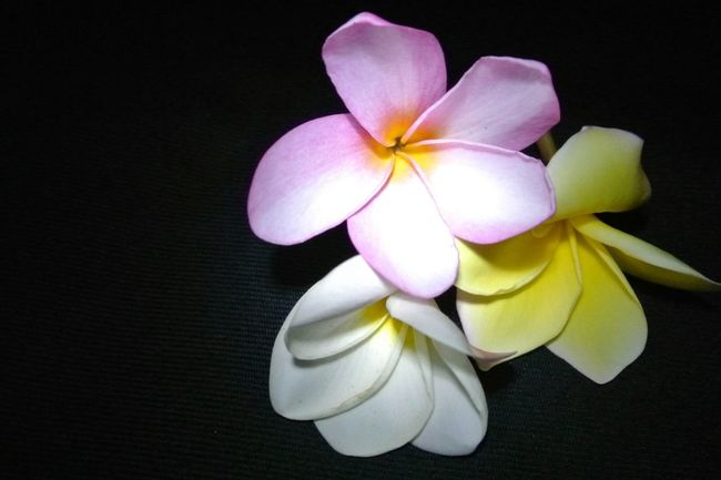 My plumerias are going off in this almost 100 degree weather! Plumeria Flower Blooming Spring