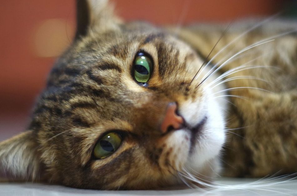 Catface Ocicat No People Close-up Animal Themes Indoors  Domestic Animals One Animal Pets Domestic Cat Indoors