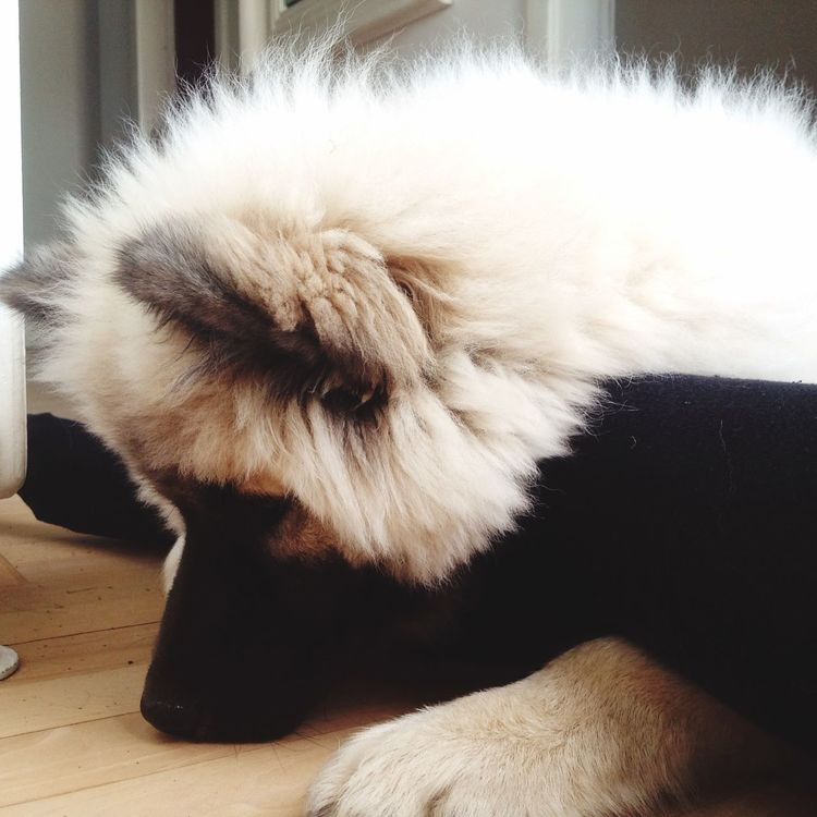 I Love My Dog❤ I Love My Dog Eurasier Legs Skovagergaard Princess Summer Sun Dog Qeen