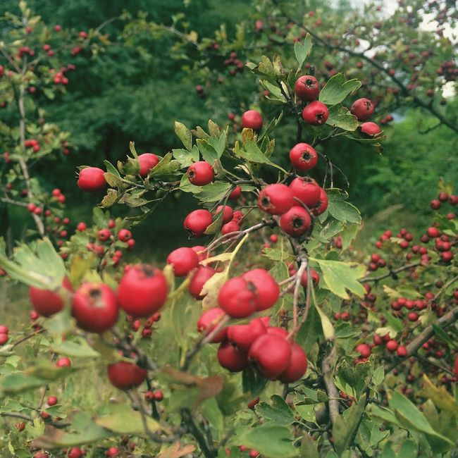Growth Red Freshness Food And Drink Fruit Close-up Food Branch Tree Focus On Foreground Green Color Healthy Eating Nature Rose Hip Beauty In Nature Plant Selective Focus Day Botany Growing Crataegus Hawthorn