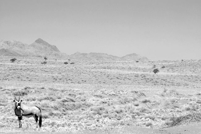 Animal Animal Themes Beauty In Nature Blackandwhite Clear Sky Day Field Gazelle Herbivorous Hoofed Mammal Mammal Mountain Namibia Nature Non-urban Scene One Animal Oryx Outdoors Scenics Sea Sunbeam Tranquil Scene Tranquility Vertebrate Zoology