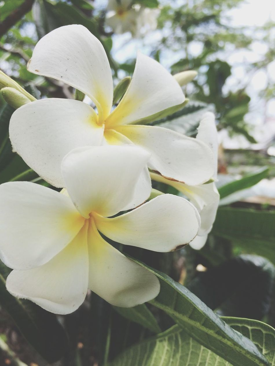Beautiful stock photos of hawaii, Beauty In Nature, Blooming, Close-Up, Day