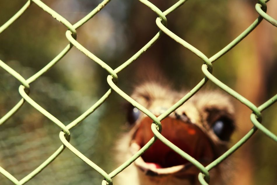 Chainlink Fence Fence Safety Trapped Focus On Foreground Prison Cage Day No People Close-up Outdoors Full Frame Mammal Nature Bird Photography Ostrich Eye Hopes And Dreams Look At Me!