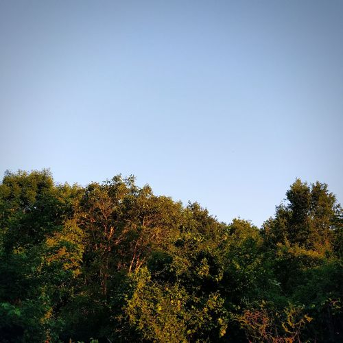 Tree Nature No People Sky Beauty In Nature Day Outdoors Low Angle View Growth Freshness Minimalism TheMinimals (less Edit Juxt Photography) Shootermag_france Shootermag Clear Sky